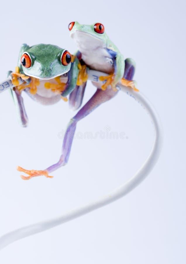 τρελλοί βάτραχοι στοκ φωτογραφίες