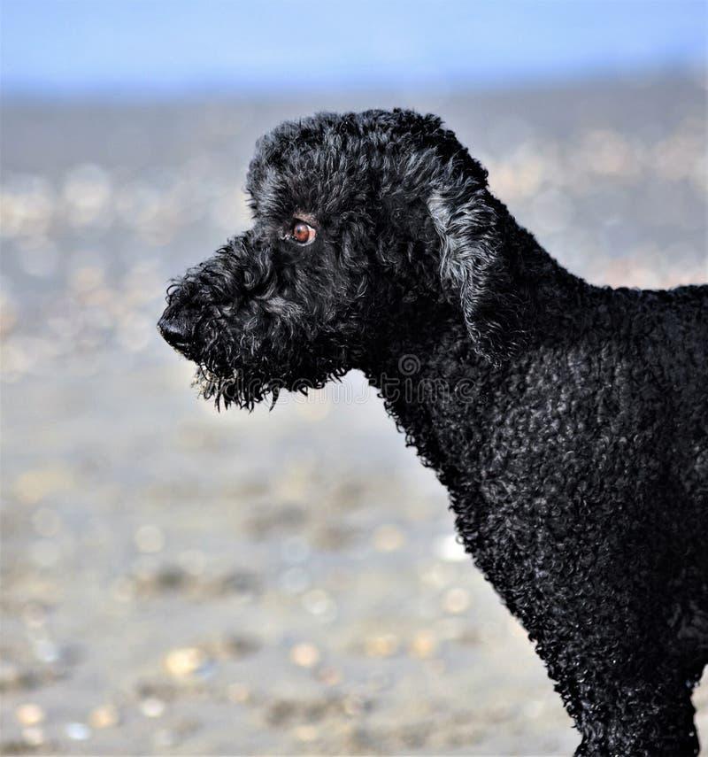 Τρελλοί σκυλιά και Άγγλοι στοκ εικόνες