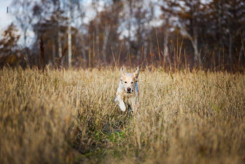 Τρελλό, ευτυχές και αστείο χρυσό retriever φυλής σκυλιών που τρέχει στον τομέα σίκαλης το φθινόπωρο στοκ φωτογραφία με δικαίωμα ελεύθερης χρήσης