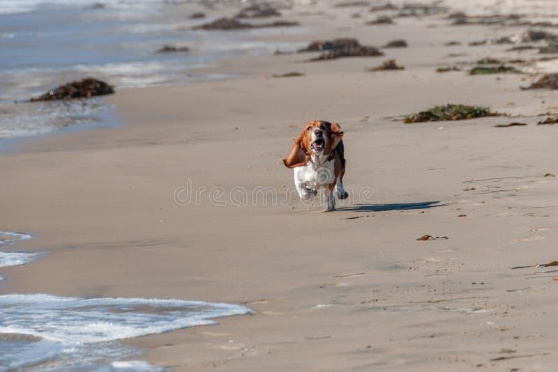 Τρεξίματα κυνηγόσκυλων μπασέ στην παραλία στοκ εικόνες