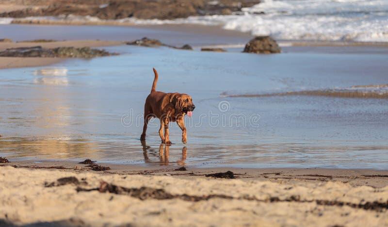 Τρεξίματα σκυλιών λαγωνικών στοκ εικόνες με δικαίωμα ελεύθερης χρήσης