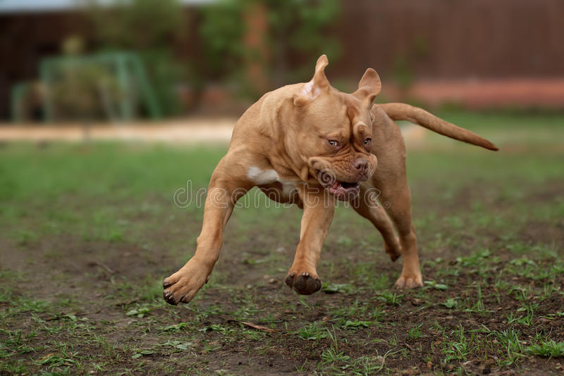 Τρεξίματα σκυλιών Dogue de Μπορντώ στη χλόη στοκ φωτογραφίες