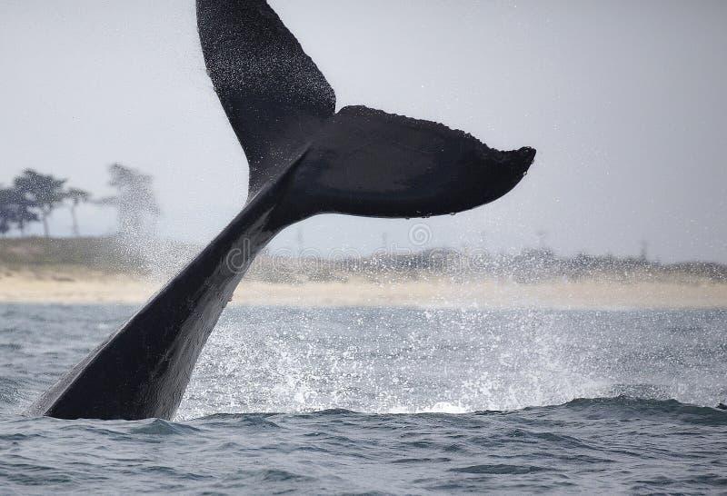Τρηματώδης σκώληκας φαλαινών Humpback στοκ εικόνα