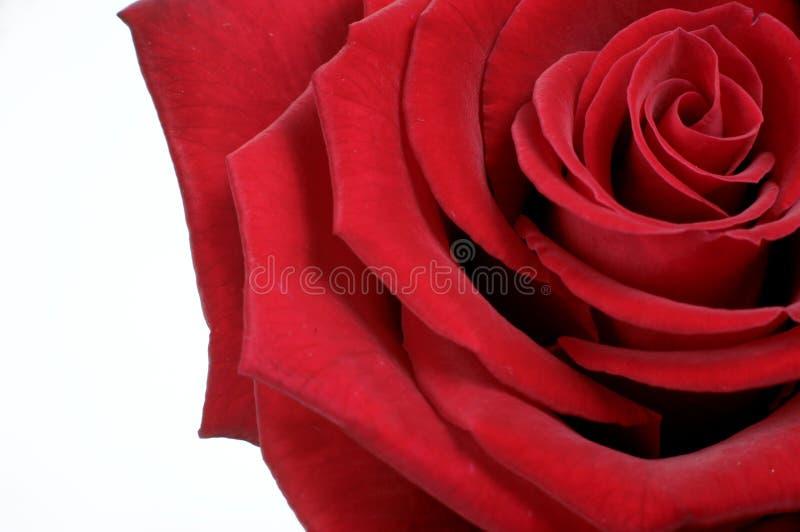τριαντάφυλλα εικόνας στοκ φωτογραφίες