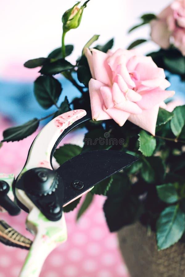 τριαντάφυλλα κλαδεύματος στοκ εικόνα