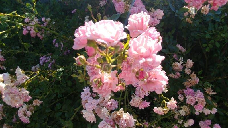 Τριαντάφυλλα νεράιδων στοκ εικόνα με δικαίωμα ελεύθερης χρήσης