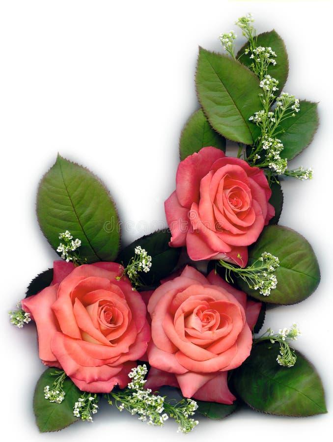 τριαντάφυλλα ροδάκινων στοκ εικόνα με δικαίωμα ελεύθερης χρήσης