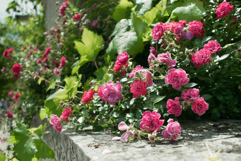 Τριαντάφυλλα στην Κριμαία στοκ εικόνες