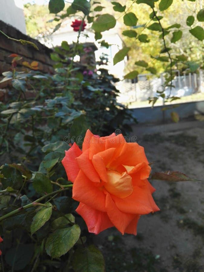 Τριαντάφυλλα στον κήπο φθινοπώρου στοκ εικόνα με δικαίωμα ελεύθερης χρήσης