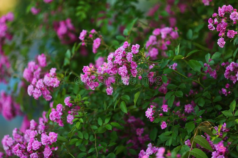 Τριαντάφυλλα στο πάρκο στοκ φωτογραφία με δικαίωμα ελεύθερης χρήσης