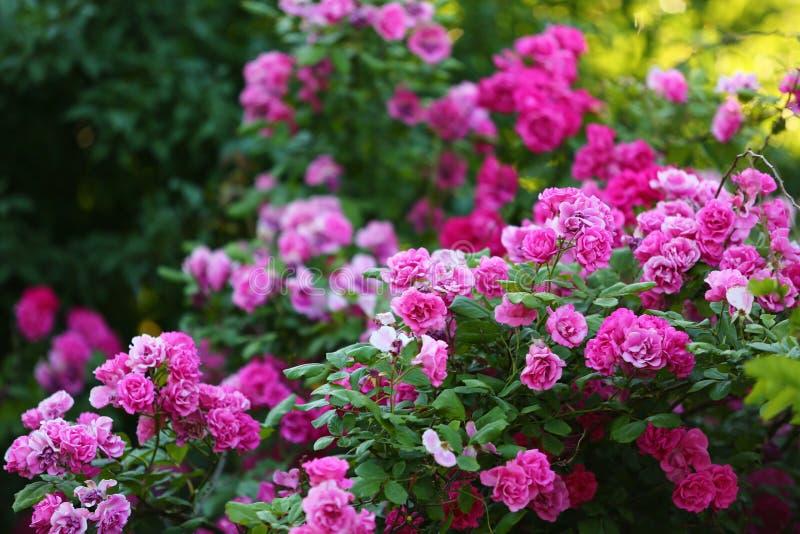 Τριαντάφυλλα στο πάρκο στοκ εικόνα με δικαίωμα ελεύθερης χρήσης