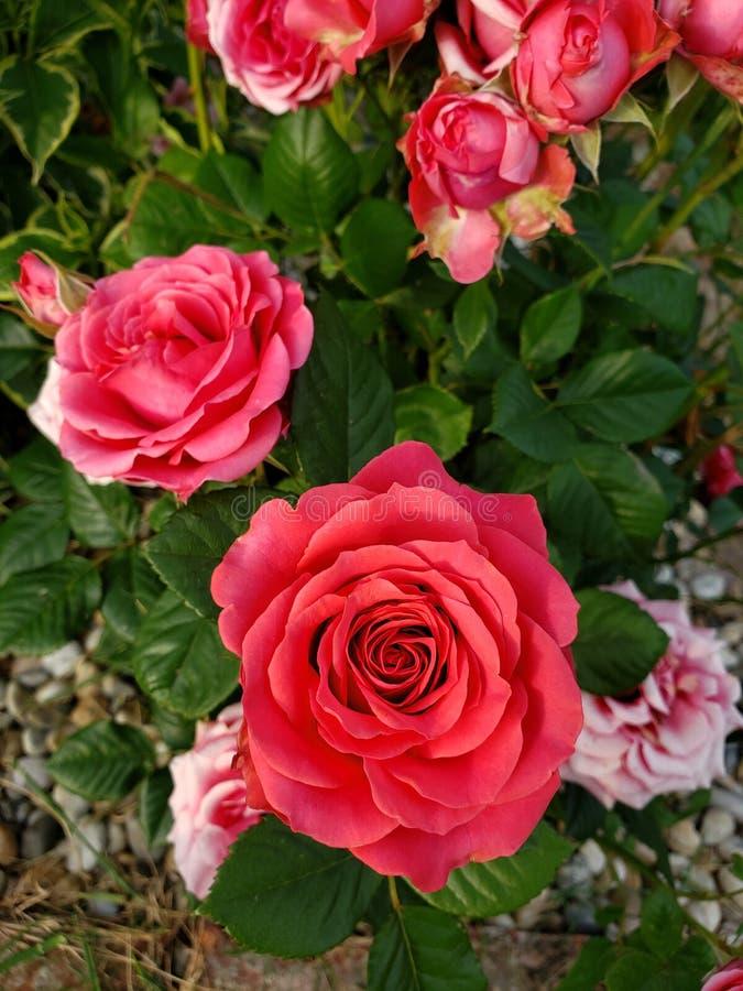 Τριαντάφυλλα του ναυπηγείου στοκ εικόνες