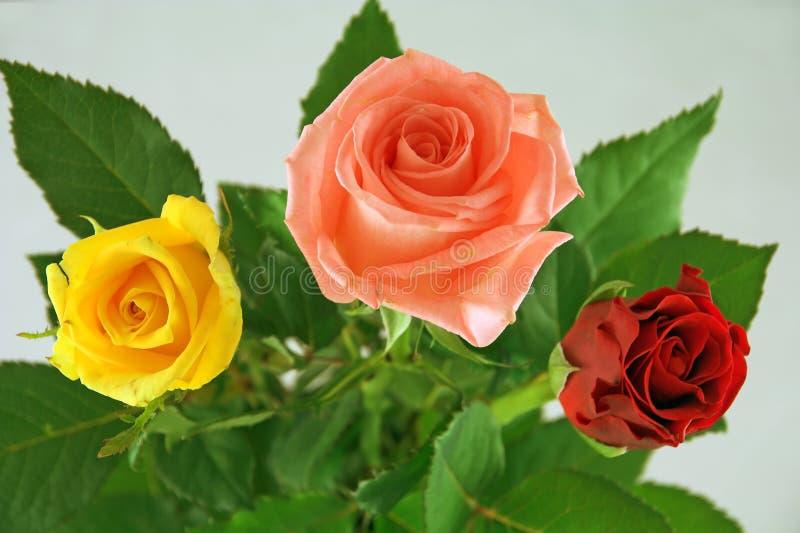 τριαντάφυλλα τρία στοκ φωτογραφία