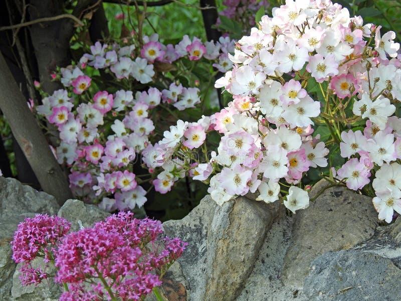 Τριαντάφυλλα βράχου στοκ εικόνες
