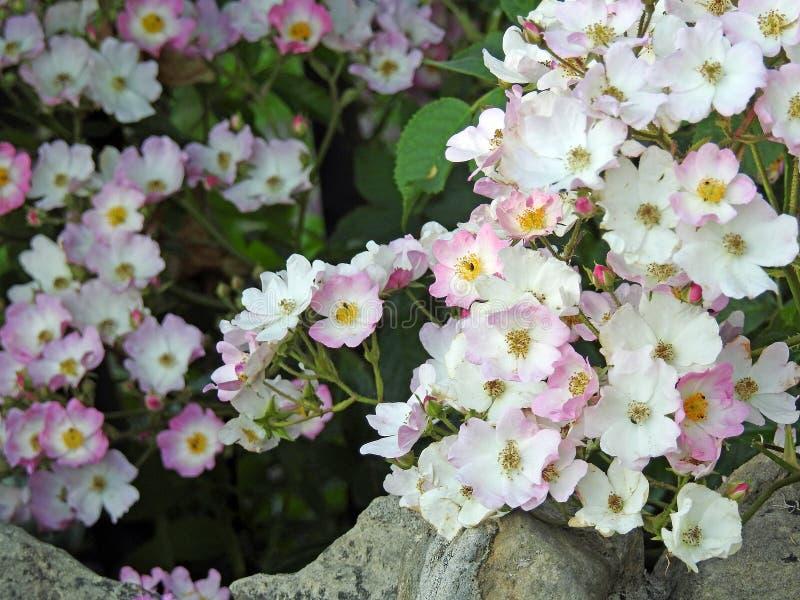 Τριαντάφυλλα βράχου στοκ φωτογραφία με δικαίωμα ελεύθερης χρήσης