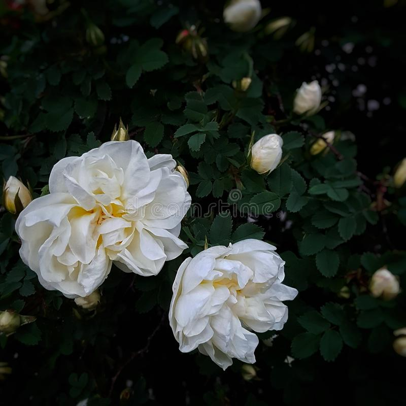 τριαντάφυλλα λευκών στοκ εικόνα με δικαίωμα ελεύθερης χρήσης