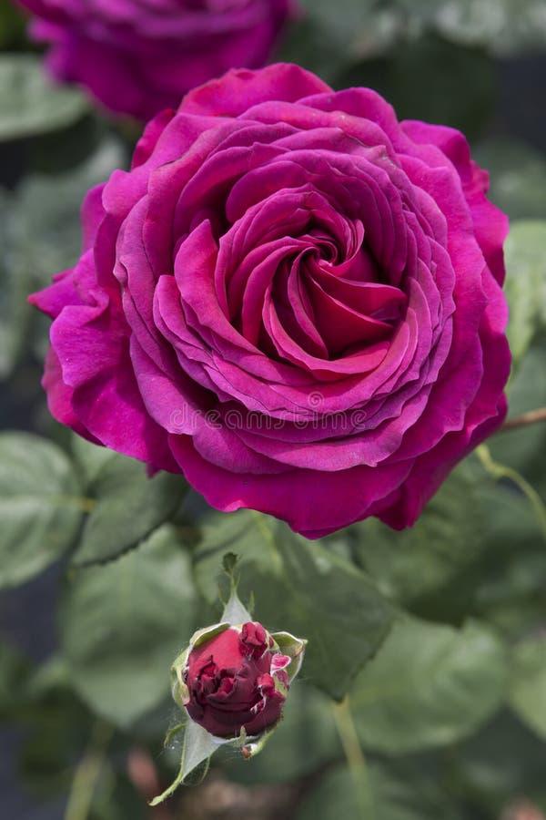 τριαντάφυλλα κήπων στοκ εικόνα με δικαίωμα ελεύθερης χρήσης