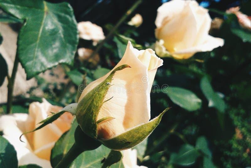 Τριαντάφυλλα όλα γύρω στοκ φωτογραφίες με δικαίωμα ελεύθερης χρήσης