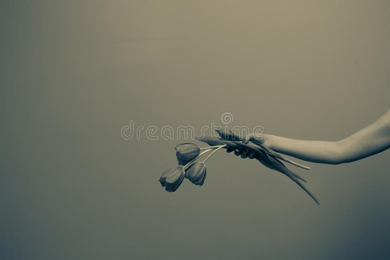 Τριελαϊκή τουλίπα στο χέρι της γυναίκας στοκ φωτογραφία με δικαίωμα ελεύθερης χρήσης