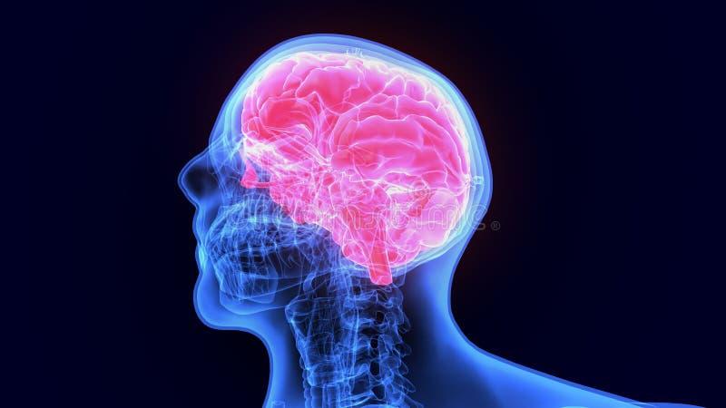 τρισδιάστατη απεικόνιση της ανατομίας ανθρώπινων σωμάτων organbrain διανυσματική απεικόνιση