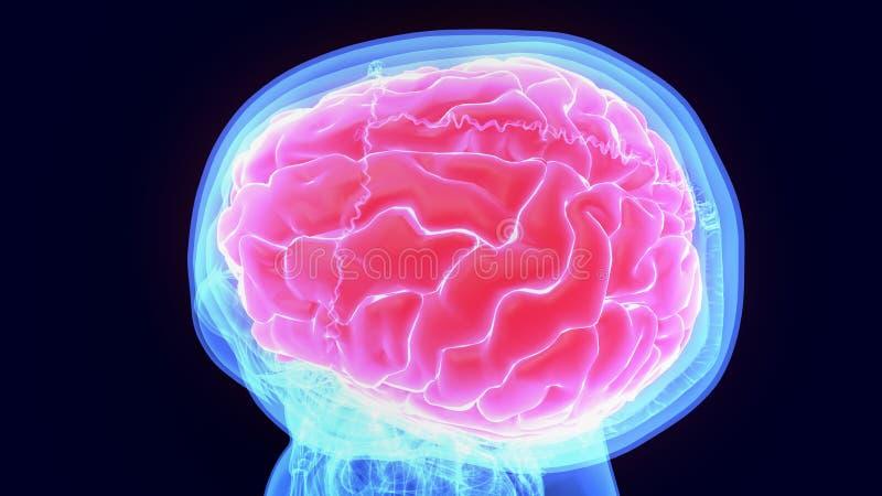 τρισδιάστατη απεικόνιση της ανατομίας ανθρώπινων σωμάτων organbrain απεικόνιση αποθεμάτων