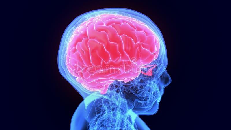 τρισδιάστατη απεικόνιση της ανατομίας ανθρώπινων σωμάτων organbrain ελεύθερη απεικόνιση δικαιώματος