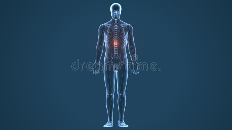 τρισδιάστατη απεικόνιση της ανατομίας αποθεμάτων νωτιαίου μυελού ανθρώπινων σωμάτων διανυσματική απεικόνιση