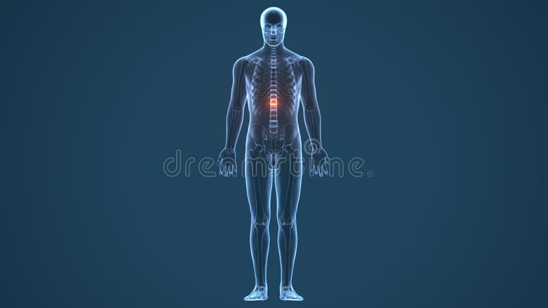 τρισδιάστατη απεικόνιση της ανατομίας αποθεμάτων νωτιαίου μυελού ανθρώπινων σωμάτων ελεύθερη απεικόνιση δικαιώματος