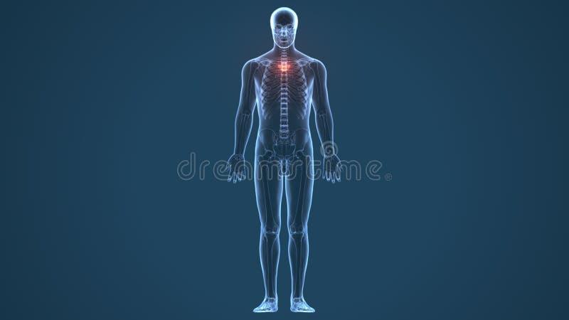 τρισδιάστατη απεικόνιση της ανατομίας αποθεμάτων νωτιαίου μυελού ανθρώπινων σωμάτων απεικόνιση αποθεμάτων