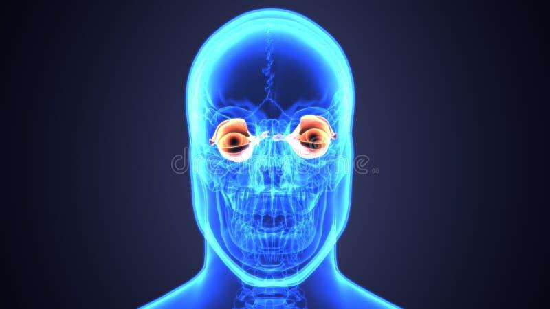 τρισδιάστατη απεικόνιση της ανατομίας ματιών ανθρώπινων σωμάτων ελεύθερη απεικόνιση δικαιώματος