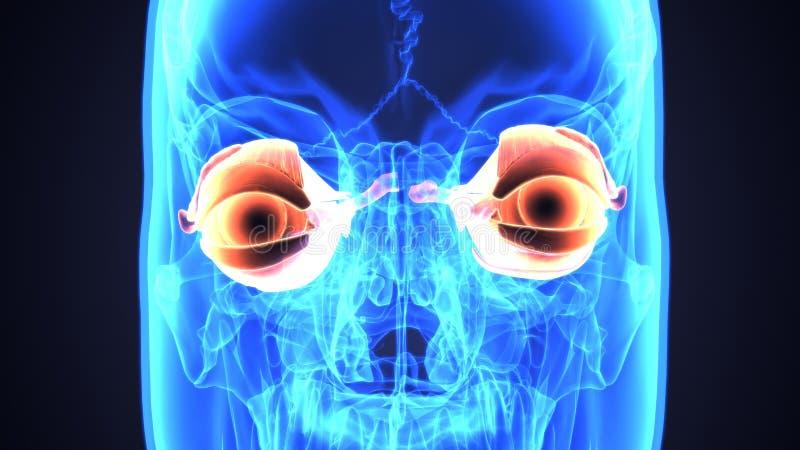 τρισδιάστατη απεικόνιση της ανατομίας ματιών ανθρώπινων σωμάτων απεικόνιση αποθεμάτων
