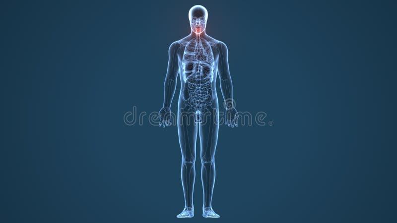 τρισδιάστατη απεικόνιση της ανθρώπινης ανατομίας κόκκαλων θυροειδή σκελετών ελεύθερη απεικόνιση δικαιώματος