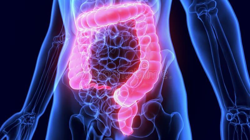 τρισδιάστατη απεικόνιση του ανθρώπινου χωνευτικού μεγάλου εντέρου ανατομίας συστημάτων στοκ φωτογραφία