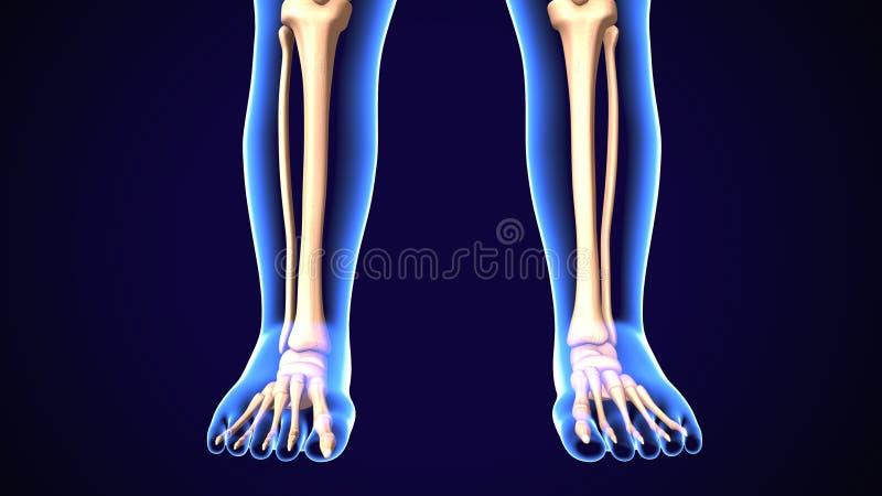 τρισδιάστατη απεικόνιση των ανθρώπινων κόκκαλων κνημών και περονών σκελετών ελεύθερη απεικόνιση δικαιώματος