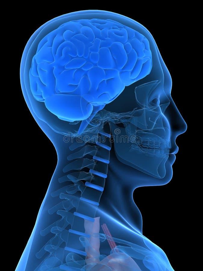 τρισδιάστατος εγκέφαλ&omicro ελεύθερη απεικόνιση δικαιώματος