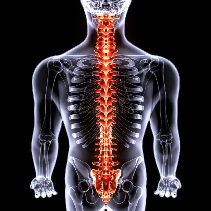 τρισδιάστατος νωτιαίος μυελός ανθρώπινων σωμάτων illustrarion των μερών ανθρώπινων σωμάτων διανυσματική απεικόνιση