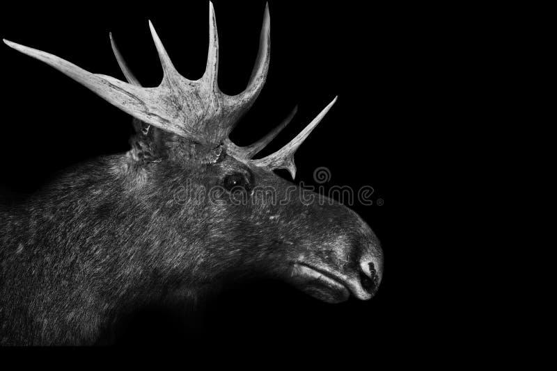 τρισδιάστατο απομονωμένο μαύρο άσπρο ζώο υποβάθρου ελαφόκερων αλκών στοκ εικόνες