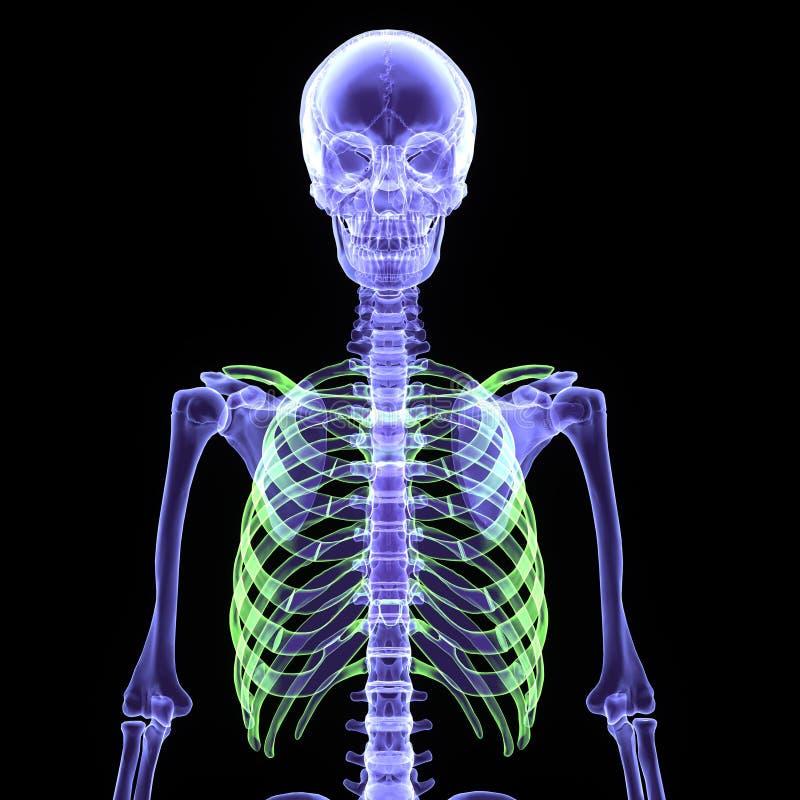 τρισδιάστατη απεικόνιση ενός σκελετού ανθρώπινων σωμάτων στοκ φωτογραφία με δικαίωμα ελεύθερης χρήσης