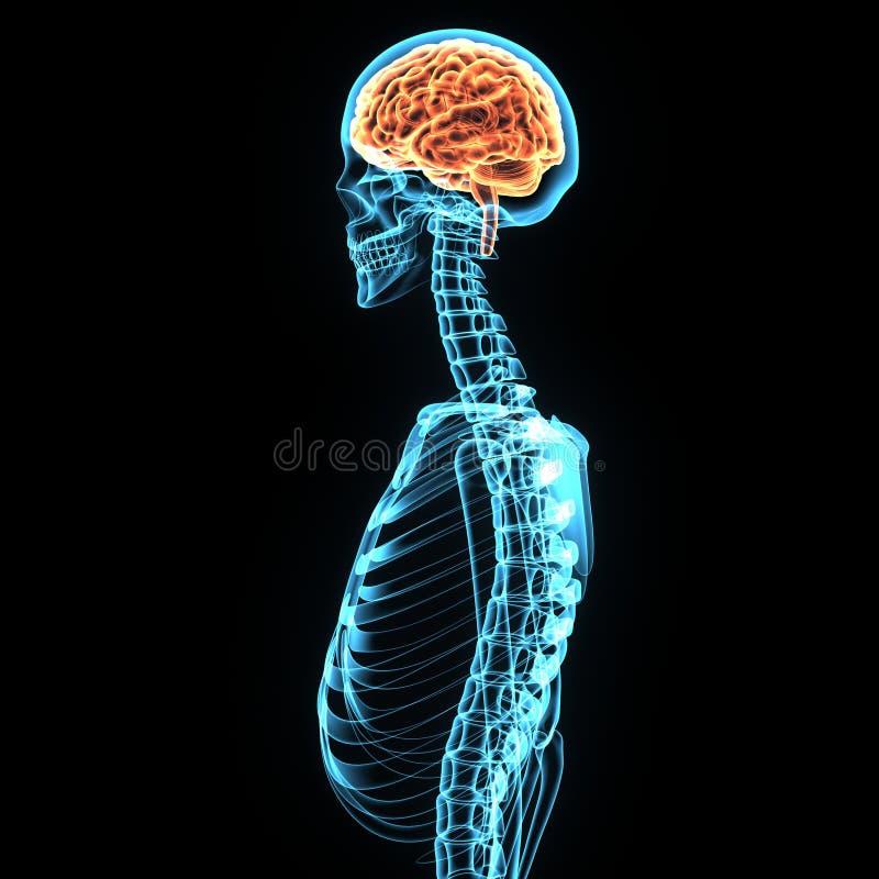 τρισδιάστατη απεικόνιση της ανατομίας εγκεφάλου ανθρώπινων σωμάτων διανυσματική απεικόνιση