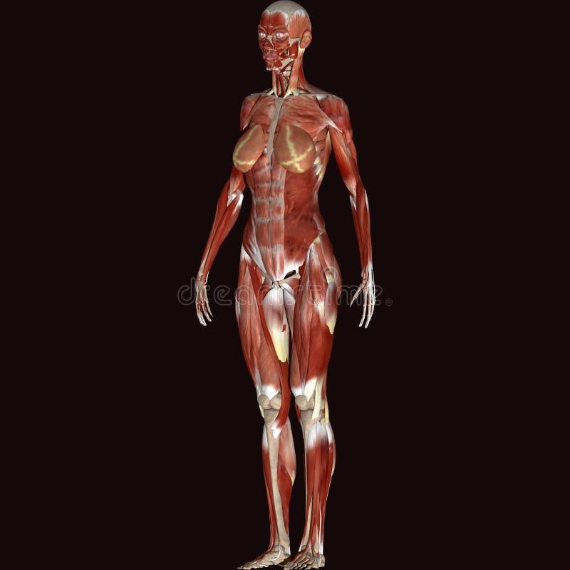 τρισδιάστατη απεικόνιση της θηλυκής ανατομίας διανυσματική απεικόνιση