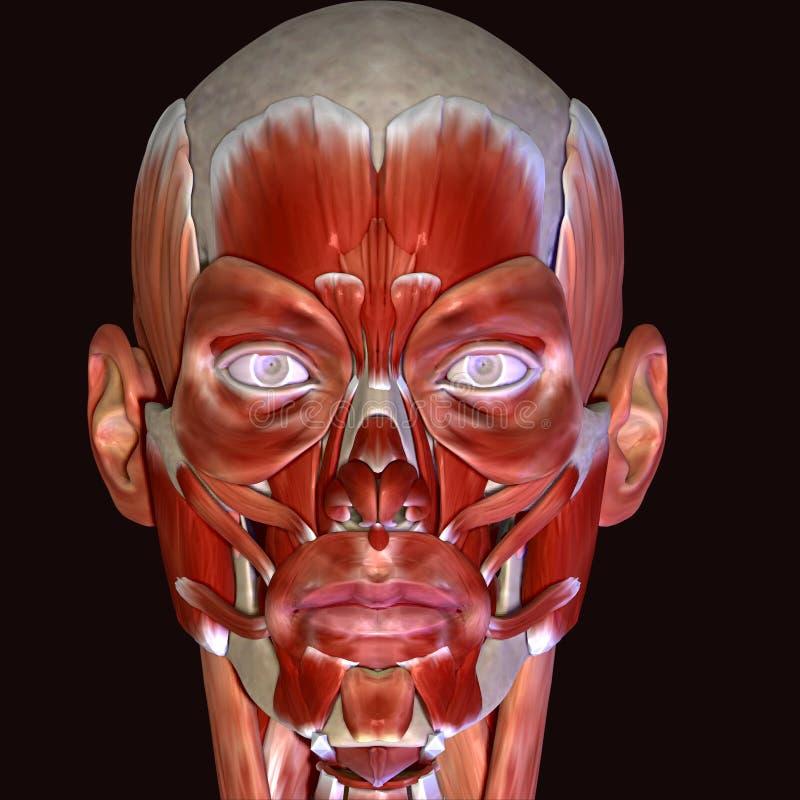 τρισδιάστατη απεικόνιση των μυών προσώπου ανθρώπινων σωμάτων στοκ εικόνες με δικαίωμα ελεύθερης χρήσης
