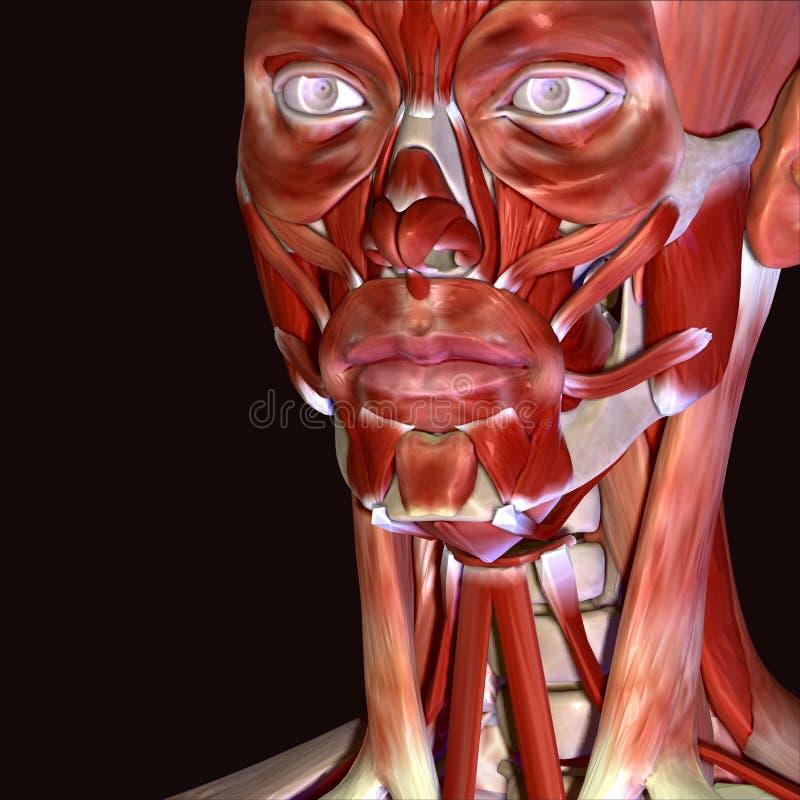 τρισδιάστατη απεικόνιση των μυών προσώπου ανθρώπινων σωμάτων απεικόνιση αποθεμάτων