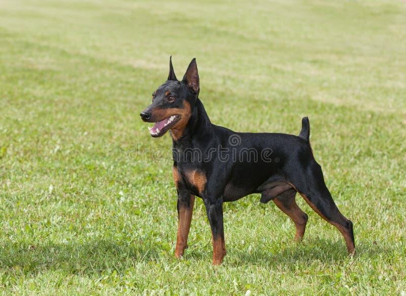τρισδιάστατη μικρογραφία σκυλιών ψαλιδίσματος πέρα από το μονοπάτι pinscher που δίνει το λευκό σκιών στοκ εικόνα με δικαίωμα ελεύθερης χρήσης