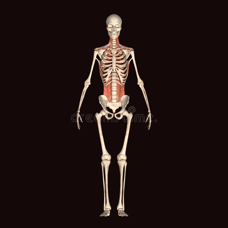 τρισδιάστατος σκελετός ανθρώπινων σωμάτων απεικόνισης στοκ εικόνες με δικαίωμα ελεύθερης χρήσης