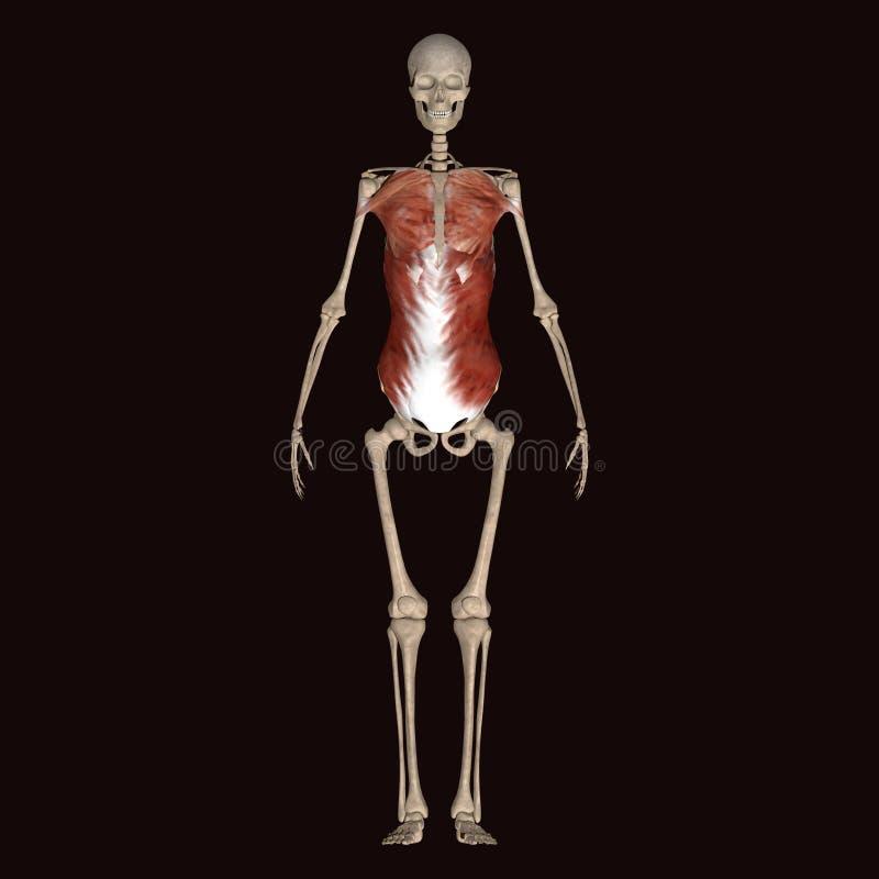 τρισδιάστατος σκελετός ανθρώπινων σωμάτων απεικόνισης στοκ εικόνα με δικαίωμα ελεύθερης χρήσης