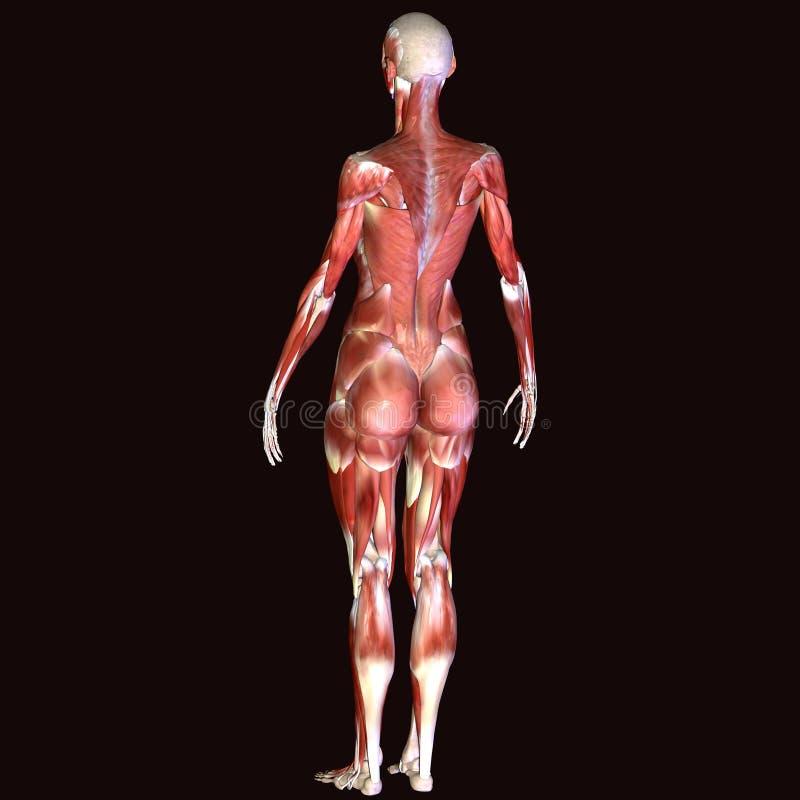 τρισδιάστατος δώστε την απεικόνιση της δομής μυών του ανθρώπινου σώματος - αρσενικό πρότυπο στοκ φωτογραφία με δικαίωμα ελεύθερης χρήσης