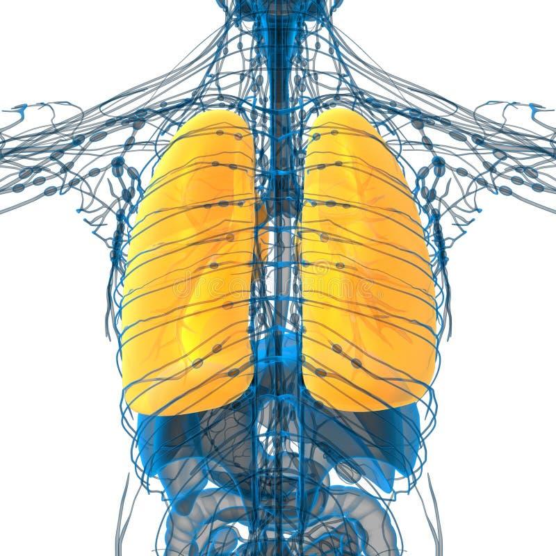 τρισδιάστατος δώστε την ιατρική απεικόνιση του πνεύμονα διανυσματική απεικόνιση