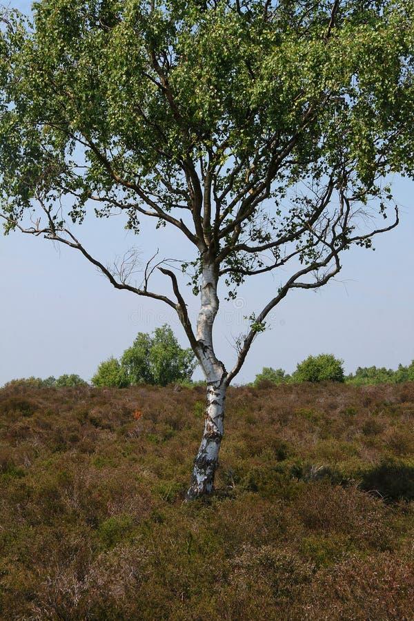 τρισδιάστατο σημύδων υψηλό απεικόνισης λευκό δέντρων διάλυσης ασημένιο στοκ φωτογραφίες