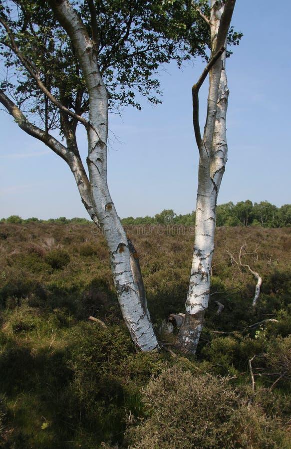 τρισδιάστατο σημύδων υψηλό απεικόνισης λευκό δέντρων διάλυσης ασημένιο στοκ φωτογραφία