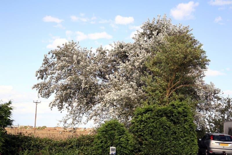 τρισδιάστατο υψηλό απεικόνισης σφενδάμνου λευκό δέντρων διάλυσης ασημένιο στοκ εικόνα με δικαίωμα ελεύθερης χρήσης